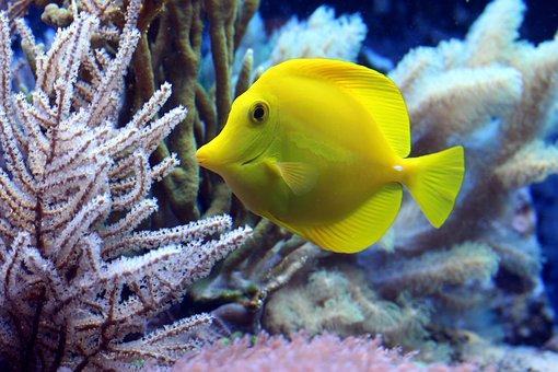 poisson, coralliens, acanthurus