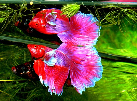 splendens betta, siam combattant, poisson