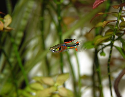 guppy, poisson, coloré