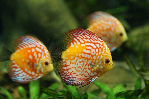 poissons discus, aquarium, d'eau douce