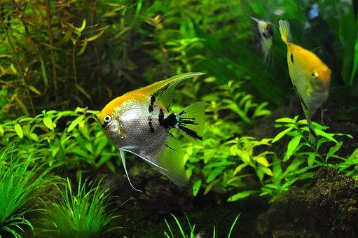 poissons, réservoir, aqua