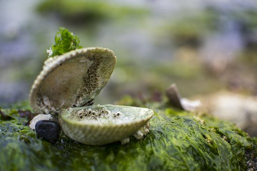 clam, coquille, mer