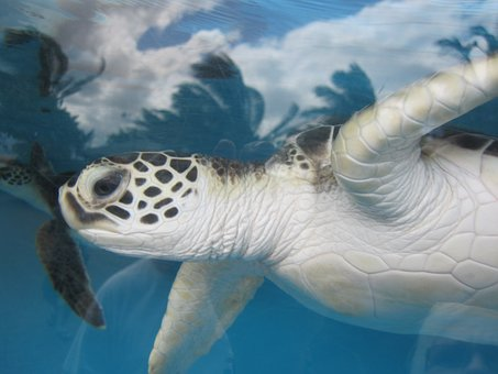 tortue de mer, hawaii, aquarium